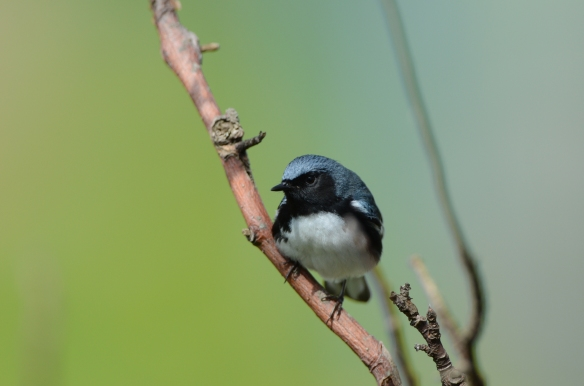 Black-throated Blue Warbler, May 10, Star Island, NH (Photo courtesy of Eric Masterson)