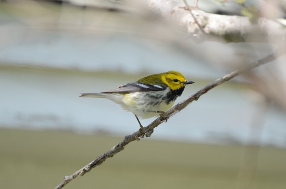 Black-throated Green Warbler, May 18, Star Island, NH (Photo courtesy of Eric Masterson)