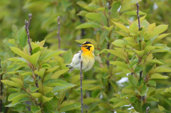 Blackburnian Warbler, May 22, Star Island, NH (Photo courtesy of Eric Masterson)
