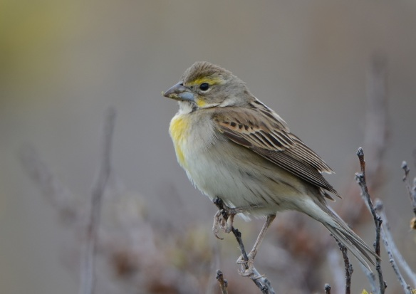 Dickcissel, May 14, Star Island, NH (Photo Courtesy of Eric Masterson)
