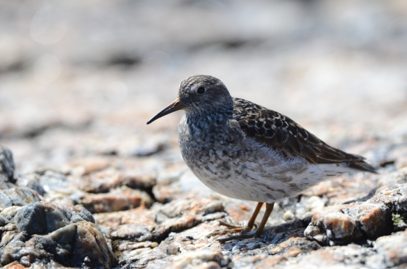 Purple Sandpiper Star Island May 10 2013