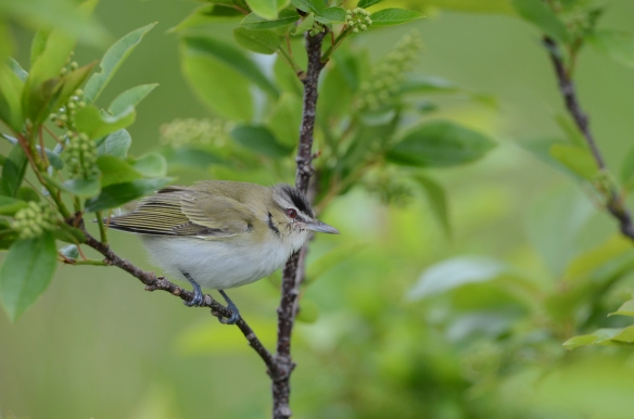 Red-eyed Vireo Star Island May 22 2013