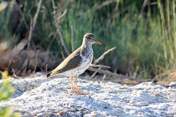 A Spotted Sandpiper which appears to be nesting on the back of the island.