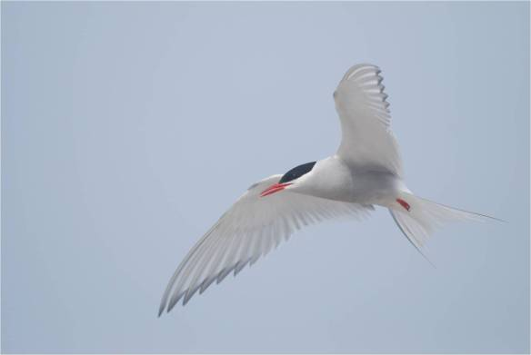 Arctic Tern, May 10, White Island (Photo courtesy of Eric Masterson)