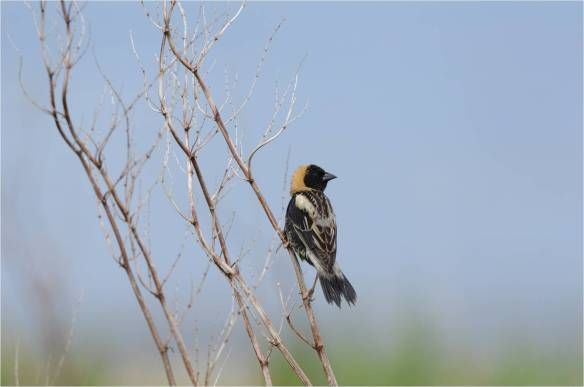 Bobolink, May 10, Star Island, NH (Photo courtesy of Eric Masterson)