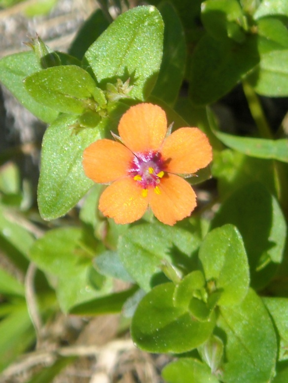 Close up of the Scarlet Pimpernel flower which often appear quite red.