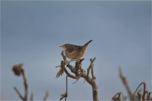 Sedge Wren, May 10, Star Island, NH (Photo courtesy of Eric Masterson)