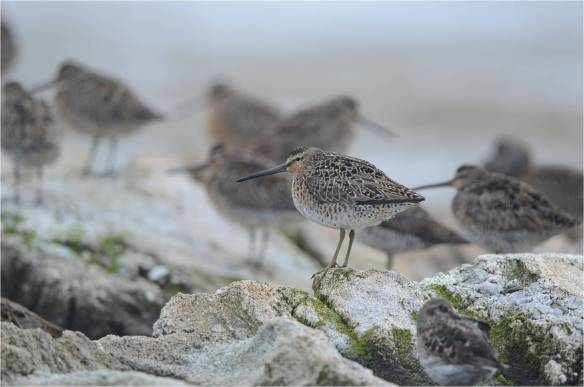 Short-billed Dowitcher, Star Island, May 10, NH May (Photo courtesy of Eric Masterson)