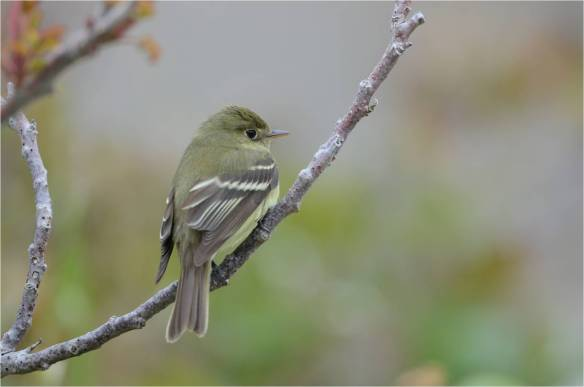 Yellow-bellied Flycatcher, May 10, Star Island, NH (Photo courtesy of Eric Masterson)