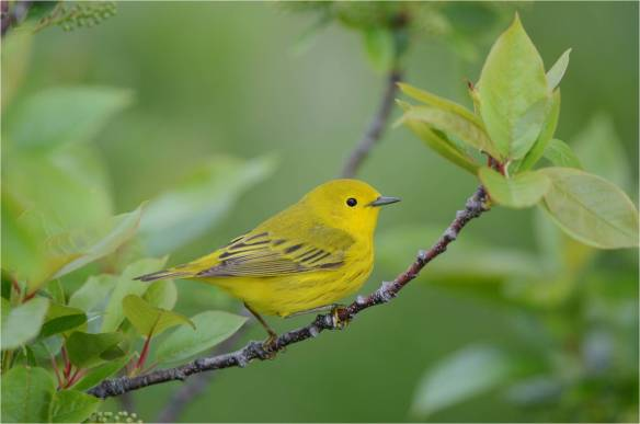 Yellow Warbler, May 10, Star Island, NH (Photo courtesy of Eric Masterson)