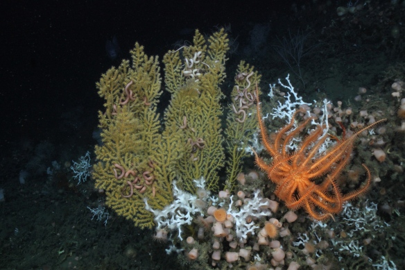 A deep water coral community (Photo courtesy of Erik Cordes).