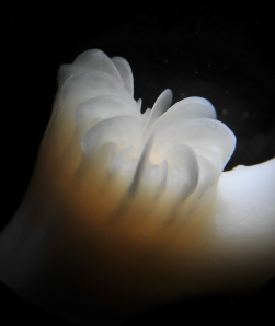 Lophelia, or a cold water coral polyp only found in deep waters of the North Atlantic (Photo courtesy of Erik Cordes).