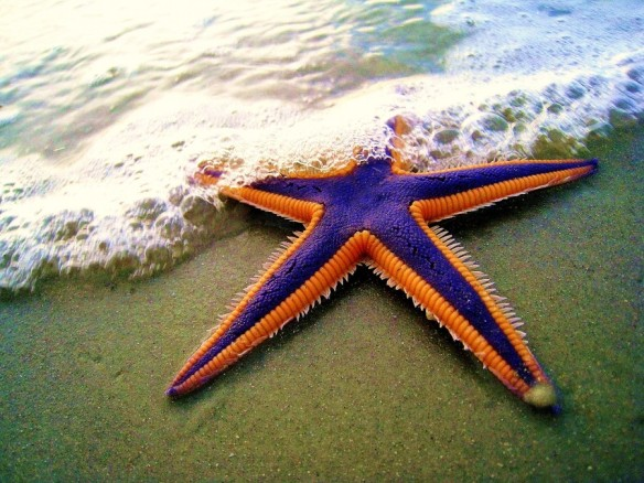 The Royal starfish (Astropecten articulatus) of the United State's East Coast (primarily in the Southeast).
