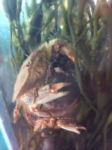 crabmating