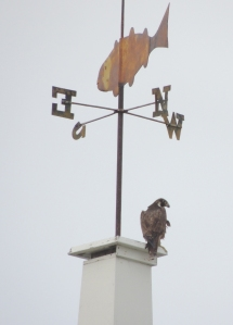 A peregrine falcon on the Star Island chapel steeple, by Bart Bouricius.